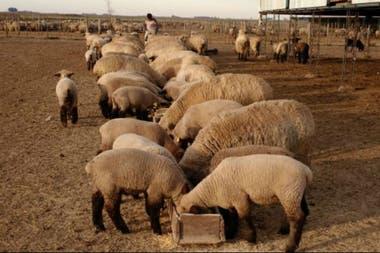 En Venado Tuerto se robaron 12 borregas de pedigree de una cabaña ovina